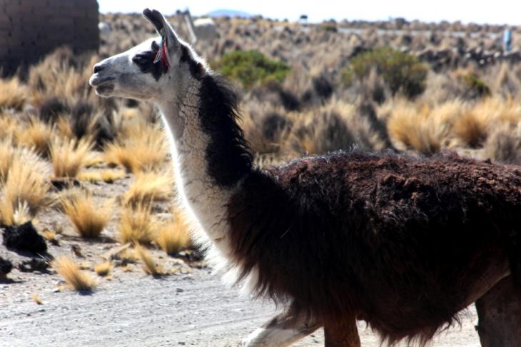 Bolivia - Itinerary La Paz-Sajama-Coipasa 066 / Around Sajama