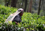 Sri Lanka - Tea country 003