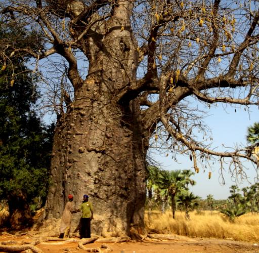 Burkina Faso 021 - Sacred baobab