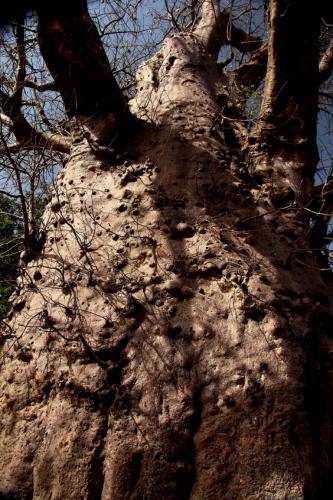 Burkina Faso 022 - Sacred baobab