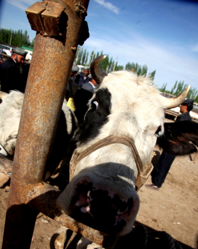 China - Xinjiang 276 - Kashgar - Sunday animal market