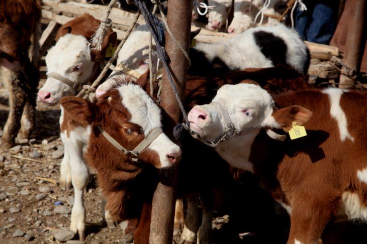 China - Xinjiang 283 - Kashgar - Sunday animal market