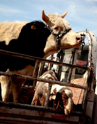 China - Xinjiang 289 - Kashgar - Sunday animal market
