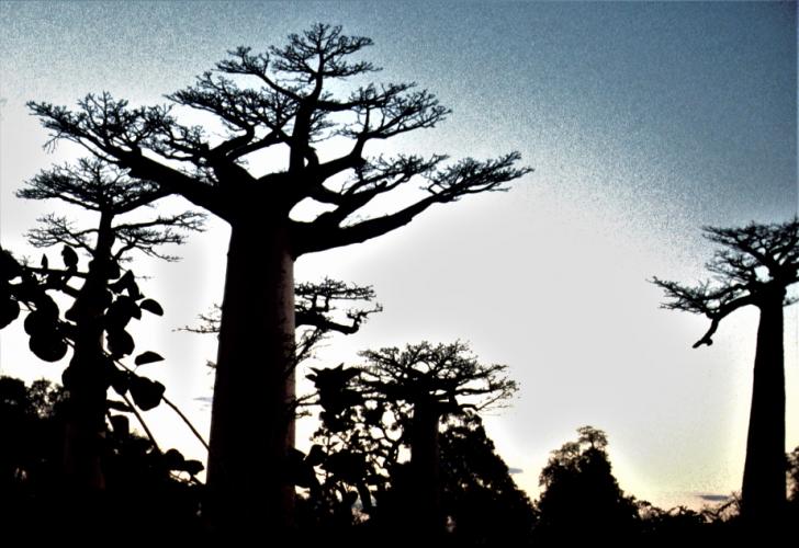 Madagascar - Baobabs 16