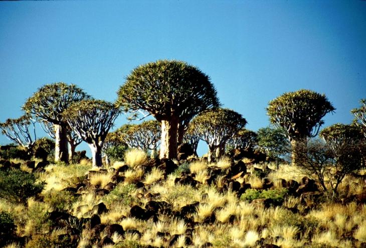 Namibia - Kokerboom 01