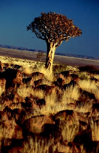 Namibia - Kokerboom 04