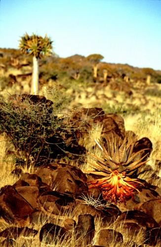 Namibia - Kokerboom 08