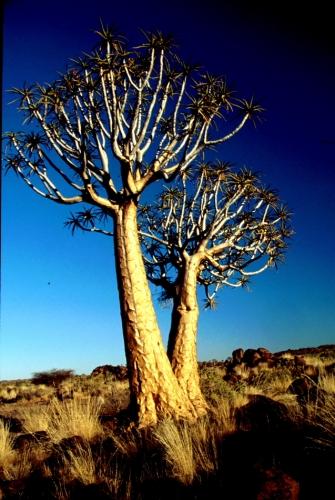 Namibia - Kokerboom 09