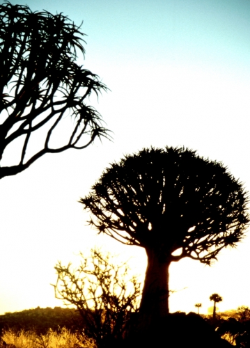 Namibia - Kokerboom 12