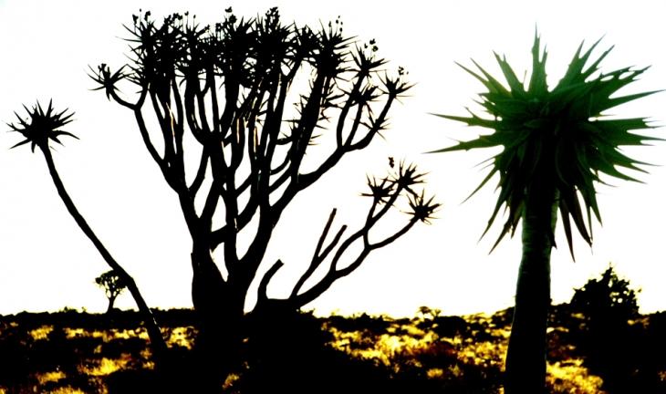 Namibia - Kokerboom 13