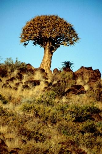 Namibia - Kokerboom 14