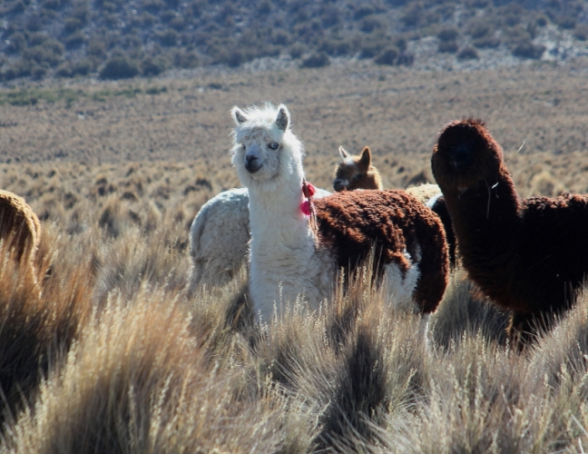 Bolivia - Itinerary La Paz-Sajama-Coipasa 060 / Around Sajama
