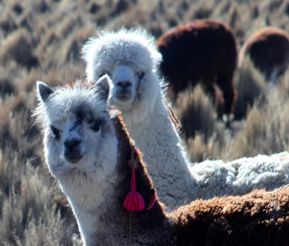Bolivia - Itinerary La Paz-Sajama-Coipasa 062 / Around Sajama