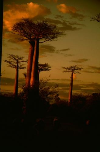 Madagascar 01 - Morondava - Allee des baobabs