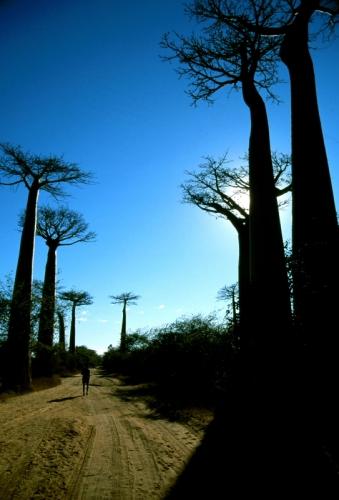 Madagascar - Allee des baobabs 01 - Monrondava