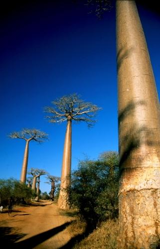 Madagascar - Allee des baobabs 02 - Monrondava