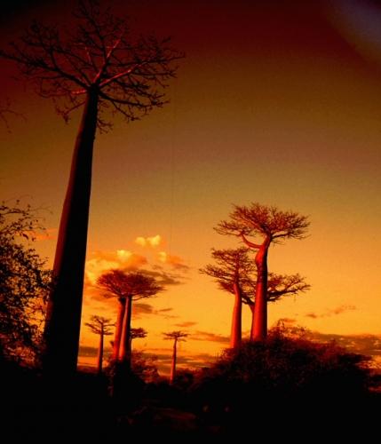 Madagascar - Allee des baobabs 03 - Monrondava