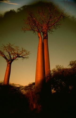 Madagascar - Allee des baobabs 04 - Monrondava