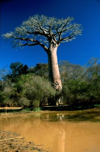 Madagascar - Baobabs 03