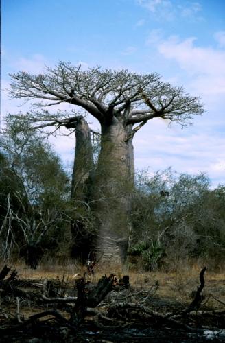 Madagascar - Baobabs 05