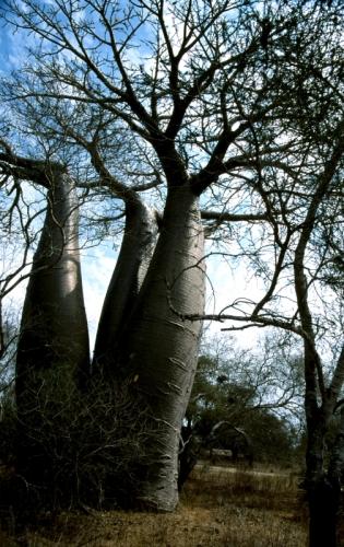 Madagascar - Baobabs 06