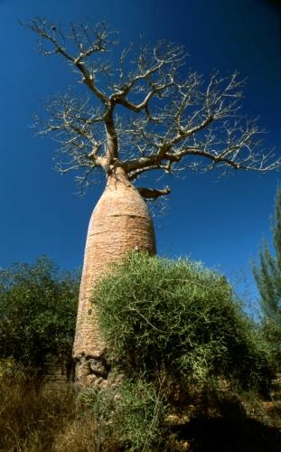 Madagascar - Baobabs 07