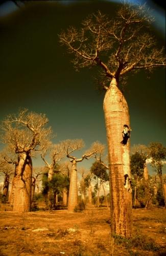 Madagascar - Baobabs 08
