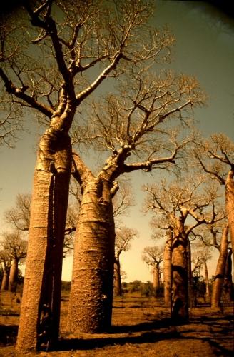 Madagascar - Baobabs 09