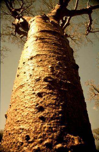 Madagascar - Baobabs 10