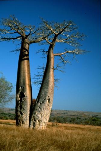 Madagascar - Baobabs 12