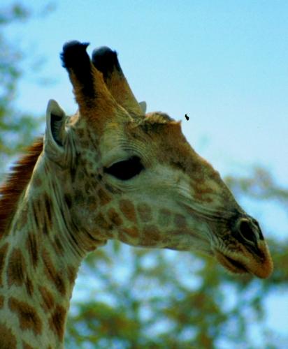 Botswana - Chobi & Moremi NP 002