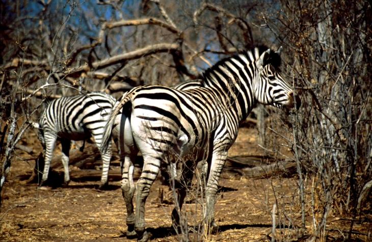 Botswana - Chobi & Moremi NP 050