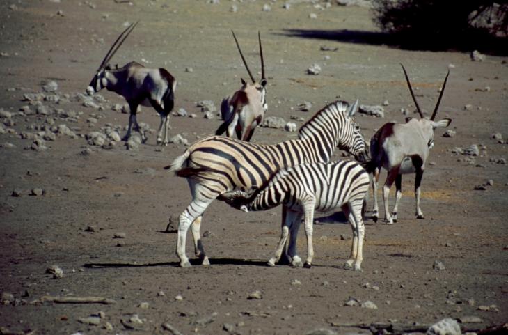 Namibia - Etosha 15